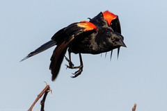 Red-winged blackbird. (zachzombiesphotos) Tags: