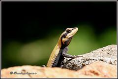 8905 - peninsular rock agama (chandrasekaran a 61 lakhs views Thanks to all.) Tags: peninsular rock agama lizard reptiles yelagiri nature tamilnadu india canon60d tamronsp150600mmg2 rockagama