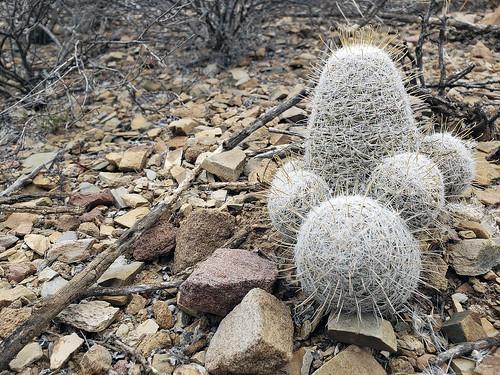 Mammillaria grahamii, Graham's Pincushion cactus gold spine