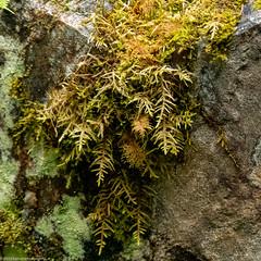 Moss on Rock (Ramona H) Tags: northcascades pacificnorthwest thundercreek usa washingtonstate hiking square moss abstract