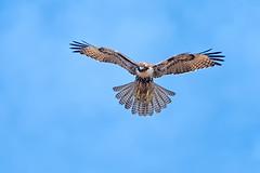 Searching (lennycarl08) Tags: pointreyesnationalseashore pointreyes redtailedhawk hawk raptor