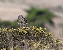 Northern Harrier #136 (lennycarl08) Tags: pointreyesnationalseashore pointreyes northernharrier grayghost raptor