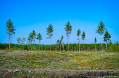 Life Goes On (WOODSHED Revisited) Tags: logging logged pine jackpine togo minnesota minn mn highway hwy highway1 north forest regeneration woods regrowth marthadecker pentax k30 onlyinmn upnorth justpentax