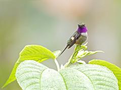 purple-throated woodstar (hawk person) Tags: calliphloxmitchellii hummingbird