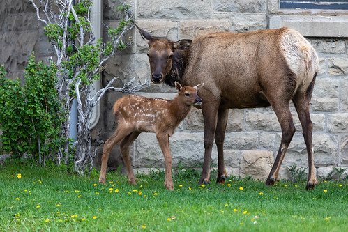 Elk with Baby, Mammoth Hot Springs, Yellowstone National Park