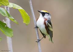 Chestnut-sided Warbler (sbuckinghamnj) Tags: warbler bird newjersey chestnutsidedwarbler
