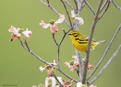 Prairie Warbler (sbuckinghamnj) Tags: warbler bird newyork prairiewarbler
