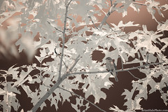 1-watermark (Brian M Hale) Tags: kolarivision kolari vision ir infrared 720nm bird birding birds birdwatching birdwatch outside outdoors nature wildlife wild life west w boylston ma mass massachusetts new england newengland usa brian hale brianhalephoto