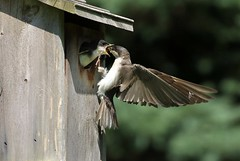 Gimme, Gimme (Diane Marshman) Tags: americantreeswallow adult female mature feeding young baby nesting box birdhouse summer pa pennsylvania nature action motion movement white brown gray feathers wings tail blue wingspread