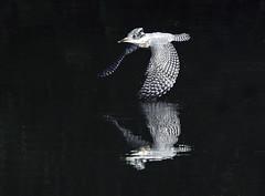 A crested kingfisher in flight - Explore (takashi muramatsu) Tags: megacerylelugubris crestedkingfisher kingfisher flight flying aichi japan nikon d810 ヤマセミ explore explored