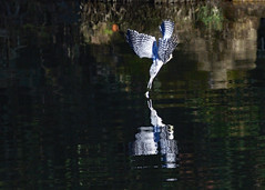 A crested kingfisher trying to catch a fish - Explore (takashi muramatsu) Tags: ヤマセミ megacerylelugubris crestekingfisher kingfisher aichi japan flight flying catch fish catching nikon d810 explore explored birdwatcher