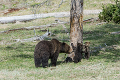 Children behave (ChicagoBob46) Tags: grizz grizzly grizzlybear sow bear cub cubs yellowstone yellowstonenationalpark nature wildlife coth5 naturethroughthelens ngc npc