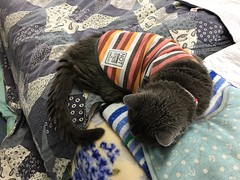 Argent's Early Summer Fashion (sjrankin) Tags: 28june2019 edited kitahiroshima hokkaido japan animal cat tunic bed blanket bedroom argent bonkers pillow