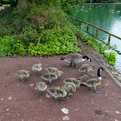 Gathering of goslings, West Park (Dave_A_2007) Tags: brantacanadensis bird canadagoose goose gosling nature wildlife wolverhampton westmidlandscombinedauthority england
