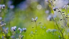 Forget-me-Not (Stefano Rugolo) Tags: stefanorugolo pentax k5 pentaxk5 kmount tamronspaf90mmf28dimacro11 forgetmenot myosotis blooming depthoffield flowers hälsingland sweden summer