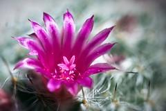Mammillaria hahniana (gemhunter178) Tags: mammillaria cactus cacti flower flowers macro