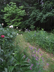 Back Garden Changes Every Day In June (amyboemig) Tags: flowers flower garden back peonies daisies lupines lupin foxglove chives