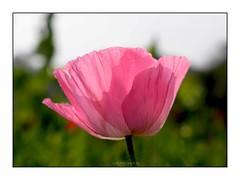 Pink Poppy Flower (mkumar.photographer001) Tags: