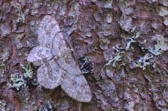Salu-samblikuvaksik; Hypomecis punctinalis; Pale Oak Beauty (urmas ojango) Tags: lepidoptera liblikalised insecta putukad insects moth vaksiklased geometridae nationalmothweek salusamblikuvaksik hypomecispunctinalis paleoakbeauty