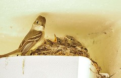 Demanding little mouths! (avilacats) Tags: openmouths almostfledglings nest feeding nestlings pacificslopeflycatcher