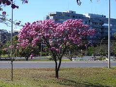 Ipê-roxo em Brasília (Alexandre Marino) Tags: