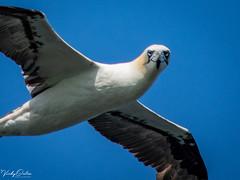 🇬🇧 Gannet smiling as it flies past. (vickyouten) Tags: vickyouten gannet wildlife nature nikon nikond7200 nikonphotography nikkor55300mm bemptoncliffs bridlington uk
