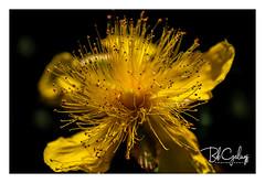 Pistil Heaven (Bob Geilings) Tags: floral flower yellow blooming mood flora bokeh closeup macro petals nature summer