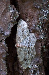 Kevad-samblikuvaksik; Ectropis crepuscularia; The Engrailed (urmas ojango) Tags: lepidoptera liblikalised insecta putukad insects moth vaksiklased nationalmothweek geometridae kevadsamblikuvaksik ectropiscrepuscularia theengrailed