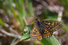 Teelehe-mosaiikliblikas; Euphydryas aurinia; Marsh Fritillary (urmas ojango) Tags: lepidoptera liblikalised insecta putukad insects butterfly koerlibliklased nymphalidae euphydryas mosaiikliblikas teelehemosaiikliblikas euphydryasaurinia marshfritillary