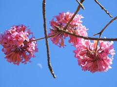 Os ipês e a lua (Alexandre Marino) Tags: ipê flor flores ipês árvores flowers