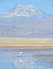 Chilean Flamingo and the Chilean Andes (Ruby 2417) Tags: flamingo bird wildlife nature chile andes atacama wetlands water scenery landscape