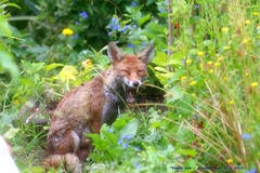 A Mothers Work.... (law_keven) Tags: fox foxes urbanredfox catford london uk wildlife wildlifephotography photography redfox animals animalphotography