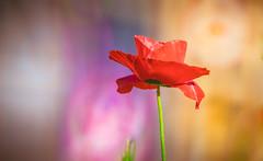 poppy (Dhina A) Tags: sony a7rii ilce7rm2 a7r2 a7r minolta rf rokkorx 250mm f56 mirror reflex minolta250mmf56 md prime rokkor bokeh manualfocus poppy flower plant garden summer