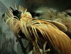 Red Bird of Paradise (Canis Major) Tags: bird paradise birdofparadise museum preserved