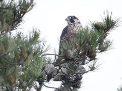 Google eyes! *EXPLORE* (avilacats) Tags: eyes pinetree perched peregrinefalcon