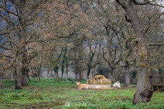 Mi tesoro (SantiMB.Photos) Tags: 2blog 2tumblr 2ig santjoanlesfonts garrotxa girona invierno winter rural vacas cows bosque forest geo:lat=4221475367 geo:lon=250253483 geotagged cataluna españa
