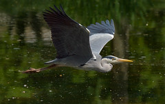 a Heron in flight (Franck Zumella) Tags: bird oiseau flight vol fly flying voler sat vite sky ciel wood tree forest foret bois arbre nature animal bif heron gbh great blue sony a7s a7 tamron 150600