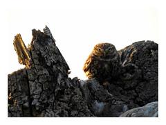 Athene noctua (M.L Photographie) Tags: animal oiseau bird nature ornitho ornithology ornithologie wild wildlife wildlifephoto wildlifephotography france normandie eure noctua cheveche owl chouette nikon coolpix p900