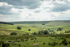 SJ1_8778 - West Yorkshire landscape (SWJuk) Tags: hebdenbridge england unitedkingdom swjuk uk gb britain yorkshire westyorkshire calderdale blakedean widdop pennineway landscape countryside view scenery fields farmland sheep hills hillside moorland moors grass bluesky clouds cloudy 2019 jun2019 summer d7200 nikond7200 nikon nikkor1755mmf28 rawnef lightroomclassiccc