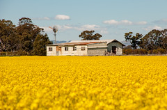 Old shed in a canola field (stevjosco) Tags: agriculture australia barn beautiful blue canola corrigated crop crops deserted environment farm farming field flowers landscape outdoor paddock ranch rural rustic rusty shed sky spring springtime tin view windmill yellow