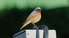 Redstart (G3nie) Tags: canoneos1100d ef70300mmf456isusm aspectratio169 finland redstart passerine bird animal wild wildlife nature cable