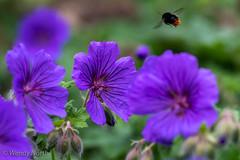 Cranesbill (Wendy North) Tags: bees allium garden cranesbill home june 2019 colour southyorkshireuk