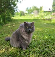 Мартин (sava-vava) Tags: cat animal кот кошки домашние любимцы kf pet grass 2019 mobilephoto