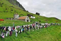 Bra Fence in Iceland (cammino5) Tags: island iceland brafence juni 2019