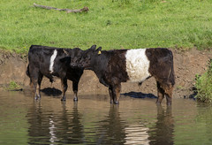Belties (Mike Serigrapher) Tags: belted galloway belties river dove derbyshire staffordshire wolfscote dale peakdistrict cattle bullocks