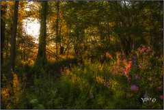 Woodland Morning. (Picture post.) Tags: landscape nature green woods flowers pink pinkcampion paysage arbre trees shadows summertime sunlight