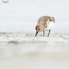 Sanderling (Andy Davis Photography) Tags: calidrisalba wader beach sand sea tide waves sony spring
