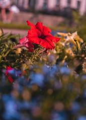 P1010713 (rozenn.rgr) Tags: flowers flower sunset sunsetflower brest bzh lumixgx80 lumixgx85 panasonic 25mm 25mmf17