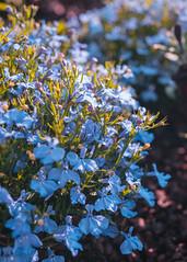P1010704 (rozenn.rgr) Tags: flowers flower sunset sunsetflower brest bzh lumixgx80 lumixgx85 panasonic 25mm 25mmf17