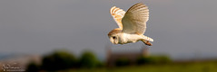 Barn Owl (Steve (Hooky) Waddingham) Tags: animal countryside coast bird british barn nature northumberland flight prey photography planet wild wildlife owl